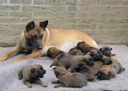 pups Nina Le Serviteur Puissant X Arrack's Home Kamatz