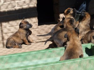 KNPV B-nest Pups 03-05-2014
